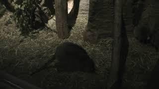フサオネズミカンガルー (多摩動物公園) 2019年1月18日