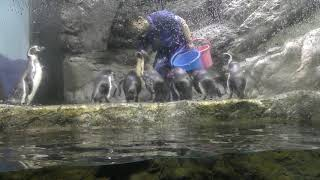 フンボルトペンギン のお食事タイム (青森県営 浅虫水族館) 2019年8月8日