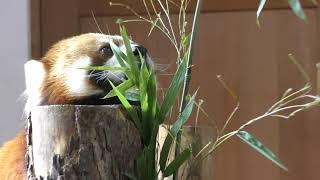 シセンレッサーパンダの『ロン』 (茶臼山動物園) 2018年4月15日