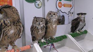 Owl room (Animal room IKEMOFU, Tokyo, Japan) November 12, 2017