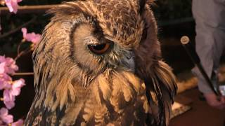 Indian eagle-owl (Itsukushima Owl Forest, Hiroshima, Japan) May 20, 2018