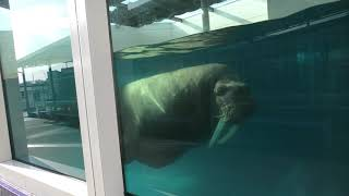Walrus (TOBA AQUARIUM, Mie, Japan) December 25, 2020