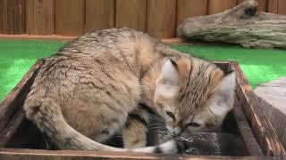 Sand cat (KOBE ANIMAL KINGDOM, Hyogo, Japan) April 23, 2021