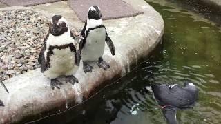 間近でケープペンギン (那須どうぶつ王国) 2017年7月23日