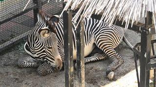 グレビーシマウマ の『ナナト』 (京都市動物園) 2020年9月1日