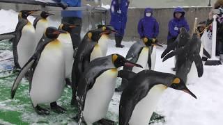 ペンギンの散歩 (旭山動物園) 2018年2月11日