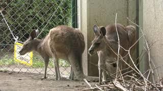 オオカンガルー (札幌市 円山動物園) 2019年6月13日