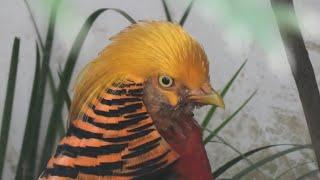 Golden Pheasant (Shinkyouji Park, Tottori, Japan) October 11, 2020