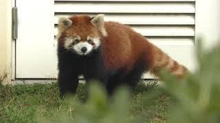 レッサーパンダ の『コト』 (京都市動物園) 2019年1月26日