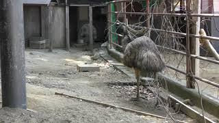 エミュー の『ジン』と『フク』 (大牟田市動物園) 2019年4月19日