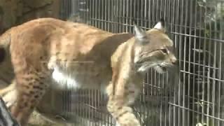 シベリアオオヤマネコ の『アル』と『ベル』 (王子動物園) 2018年9月16日