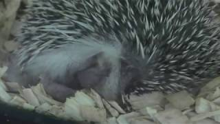 Hedgehog (Hakone-en Animal land petting Zoo, Kanagawa, Japan) October 28, 2018