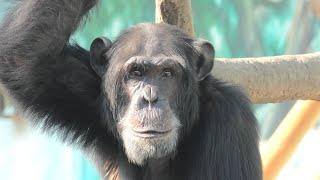 チンパンジー (天王寺動物園) 2020年12月23日