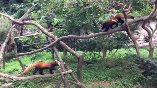 シセンレッサーパンダの食事風景 (多摩動物公園) 2017年8月27日