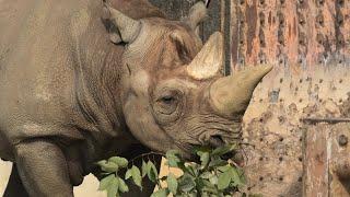 Eastern black rhinoceros (TOBE ZOOLOGICAL PARK OF EHIME PREF., Ehime, Japan) December 25, 2019