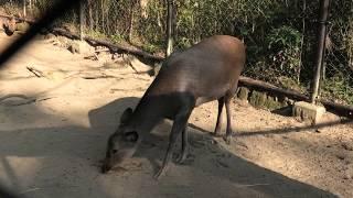 キュウシュウジカ (宮崎市フェニックス自然動物園) 2019年12月9日