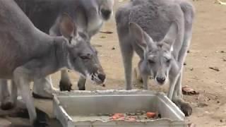 アカカンガルー (群馬サファリパーク・バードパーク) 2018年11月10日
