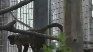 フサオマキザル (京都市動物園) 2017年11月5日