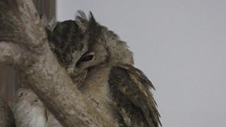 フクロウ目 Strigiformes