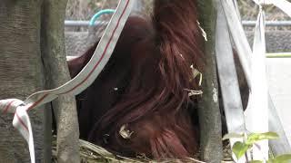ボルネオオランウータン の『ポピー』 (鹿児島市 平川動物公園) 2019年4月17日