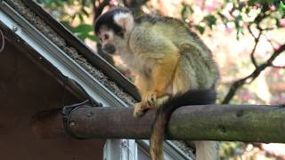 Squirrel Monkey (NANREKU Children's Zoo, Ehime, Japan) December 23, 2019