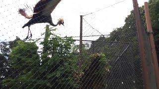 ホオジロカンムリヅルの羽ばたきジャンプ (みさき公園) 2017年8月26日