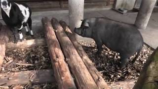 ミニブタ と ヤギ (くじゅう自然動物園) 2019年12月6日