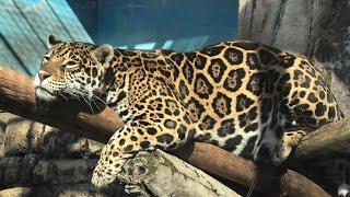 ジャガー の『ルース』 (天王寺動物園) 2020年12月23日