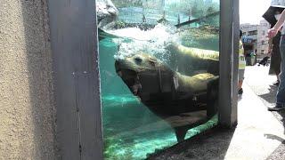 カリフォルニアアシカ (上野動物園) 2020年9月11日