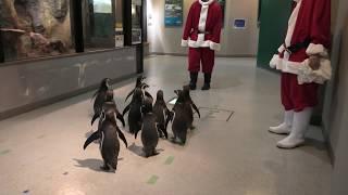 おさんぽペンギン・クリスマスバージョン (虹の森公園 おさかな館) 2019年12月24日