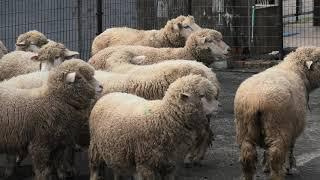 ヒツジ と ヤギ の放牧 (兵庫県立 但馬牧場公園) 2019年11月27日