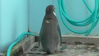 フンボルトペンギン (和歌山城公園 動物園) 2018年12月24日