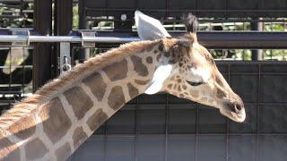 キリン (神戸市立王子動物園) 2020年9月28日