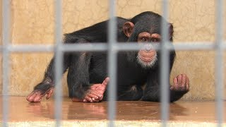 チンパンジー の『げんき』 (静岡市立 日本平動物園) 2019年9月29日