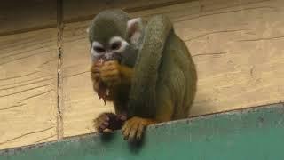 Squirrel Monkey (Fuji Safari Park, Shizuoka, Japan) November 24, 2018
