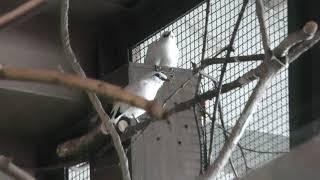 Bali myna (Sapporo Maruyama Zoo, Hokkaido, Japan) February 12, 2018