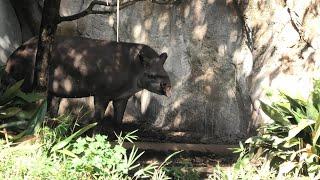 アメリカバク (上野動物園) 2020年9月11日