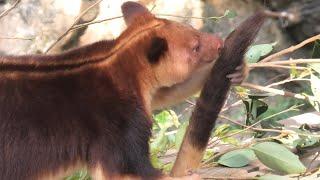 Goodfellow's tree-kangaroo (Yokohama Zoological Gardens [ZOORASIA], Kanagawa, Japan) September 16, 2020