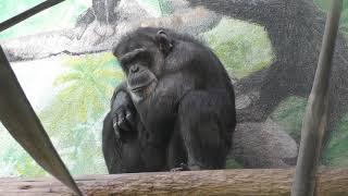 チンパンジーの『タロー』 (わんぱーくこうちアニマルランド) 2018年3月24日