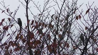 ヒヨドリ (東京港野鳥公園) 2018年12月2日