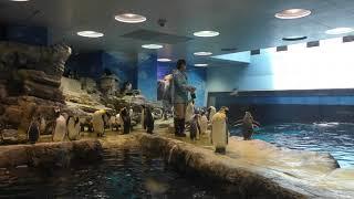 ペンギン大編隊・前半 (市立しものせき水族館 海響館) 2019年4月26日