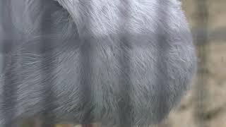 シロエリオオヅル の『ミチコ』 (京都市動物園) 2019年1月26日