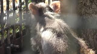 アカハナグマ の赤ちゃん (群馬サファリパーク) 2018年11月10日