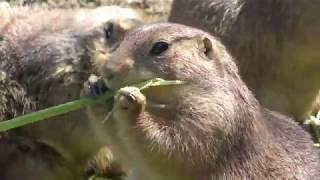 プレーリードッグ (高知県立のいち動物公園) 2018年3月24日