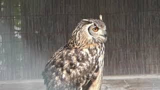 Horned owl (GUNMA SAFARI PARK, Gunma, Japan) November 10, 2018