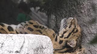 仰向けで眠るウンピョウのショウくん (天王寺動物園) 2017年11月3日