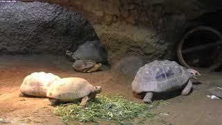 陸棲のカメたち (京都市動物園) 2019年1月26日