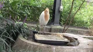 水を飲むアマサギ (多摩動物公園) 2017年8月27日