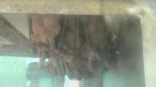 エジプトルーセットオオコウモリ (東武動物公園) 2020年9月18日