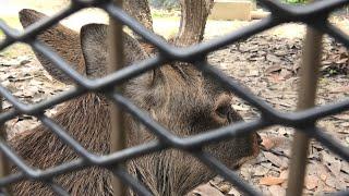 ホンシュウジカ の『クロマツ』 (東武動物公園) 2020年9月18日